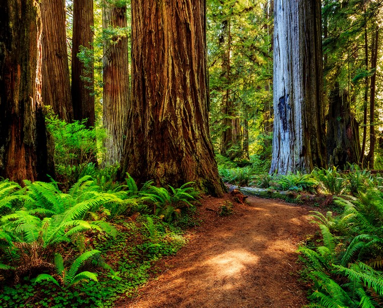 Redwoodas national park, pathway through the redwoods giants
