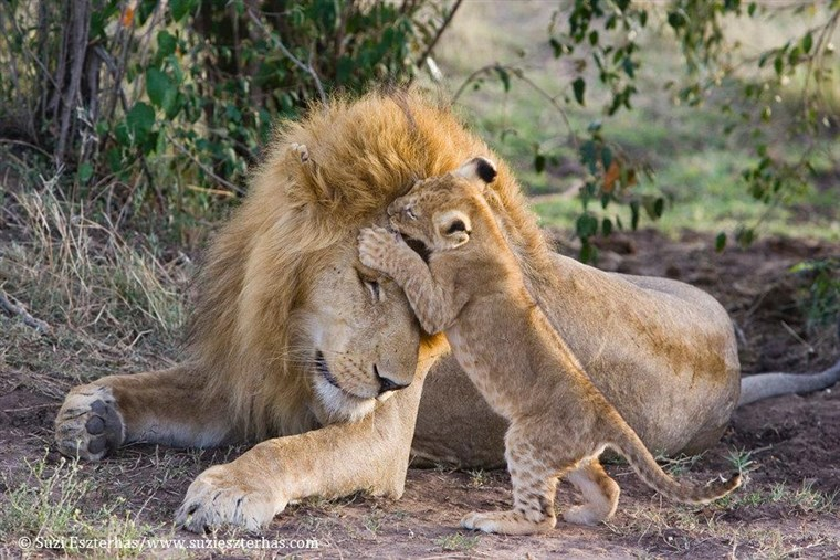 In this heartwarming photo, Dad seems to let his cub playfully nip at his forehead, or maybe his son is planting a kiss!