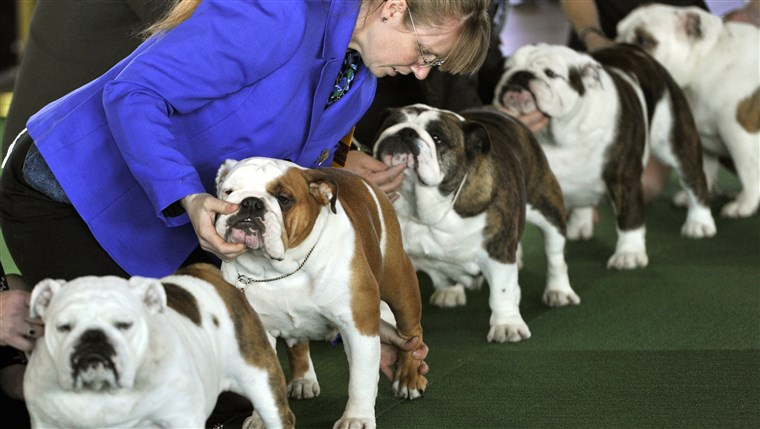 Булдогови line up in the judging ring for the first day of competition at the 138th Annual Westminster Kennel Club Dog Show.