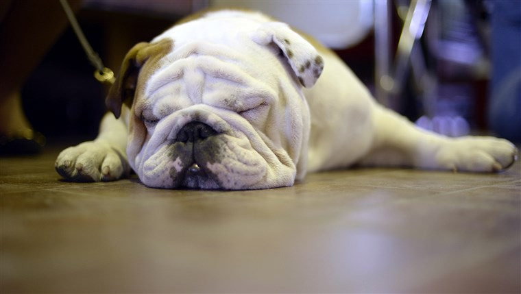А bulldog tries to nap at the 138th Annual Westminster Kennel Club Dog Show .