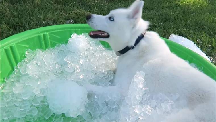 siberian Husky gets ICE POOL