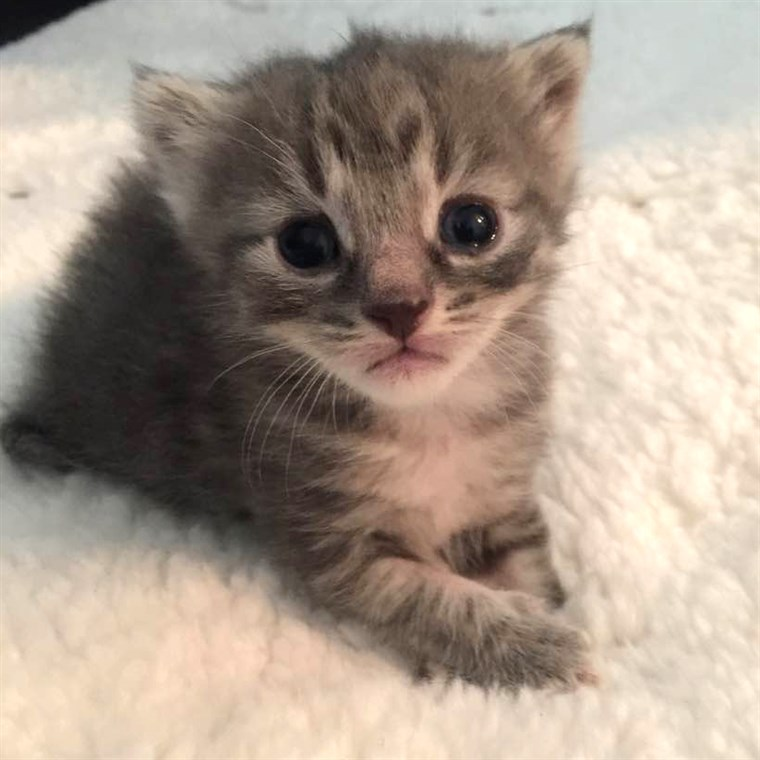 Lucrurile to know before fostering a kitten
